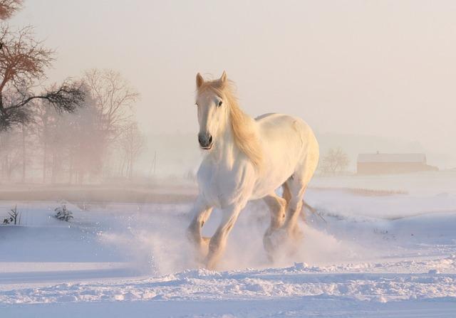 bílý kůň ve sněhu
